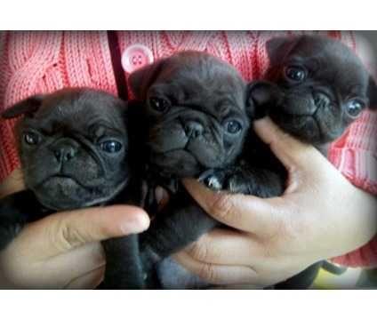 Pretty Pugs TEACUPPUPPIESSTORE.C OM - Pictures