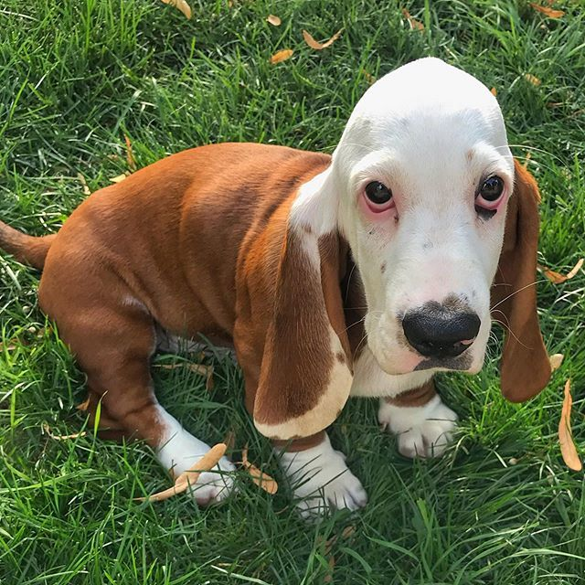 I M 12 Weeks Old And Live In Milwaukee Wi Basset Hound Dogs