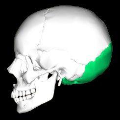ElHUESO OCCIPITALes un hueso impar, central y simétrico delcráneoque constituye la parte posterior, inferior y media del cráneo. Colabora en la formación tanto de la base como de la bóveda craneal. Es cóncavo hacia arriba y adelante y convexo hacia abajo y atrás. Tiene una forma irregularmente romboidal. En él se pueden distinguir una cara pósteroinferior (exocraneal) y una ánterosuperior (endocraneal).