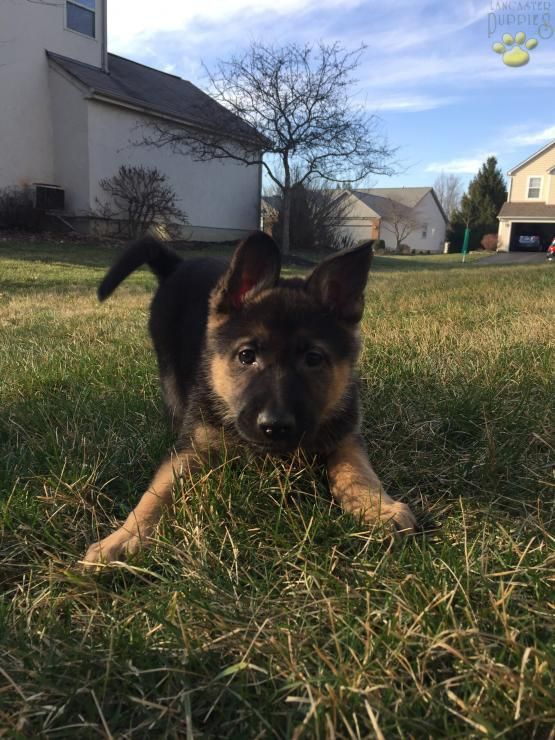 Hazel - German Shepherd Puppy for Sale in Columbus, OH | Lancaster Puppies