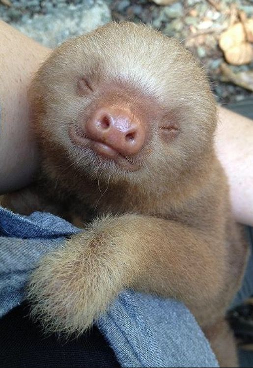 Best Two Toed Sloths Images On Pinterest Baby Animals - 5 month old baby and sloth are the most unlikely of best friends