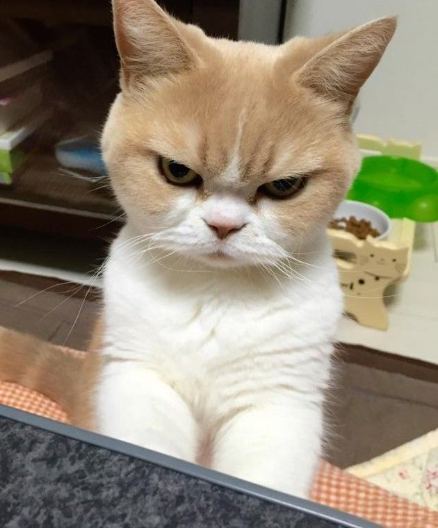 Best แมวเถอน Images On Pinterest Cats Kittens And Kitten - Meet the japanese cat that might just be the grumpiest kitty ever