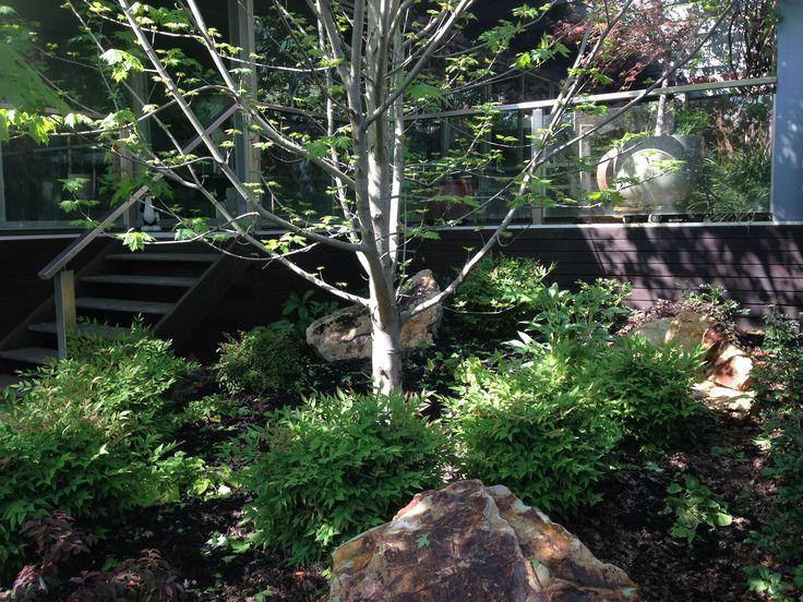 Oct15: nandina moonbay under the maple trees