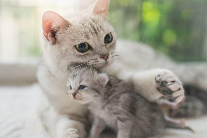 猫が飼い主の 顔の近くで寝る 3つの理由 Yahoo Japan アメリカンショート 猫 動物