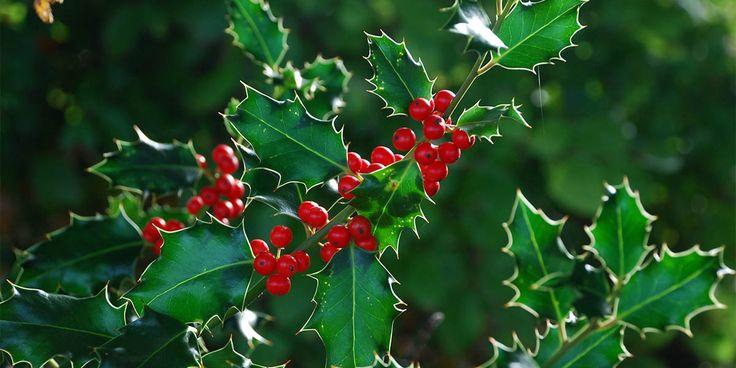 Ilex aquifolium - Çoban püskülü 1