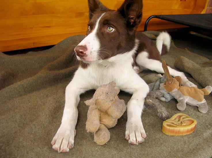 I loved stuffed toys when I was a puppy - Australian Border Collie - Kelpie cross