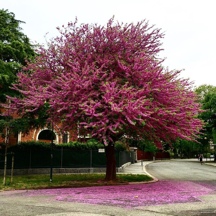 #judastree #spring #crocetta