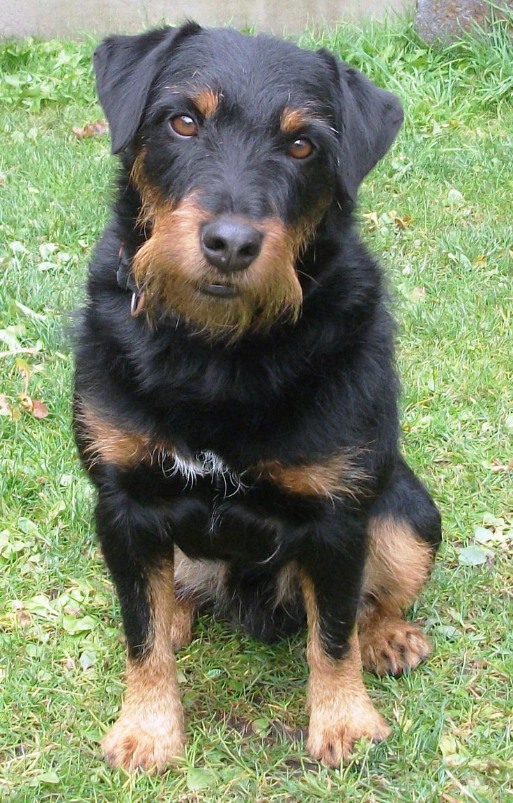 German Hunting Terrier Dog Breeds By Fci Http