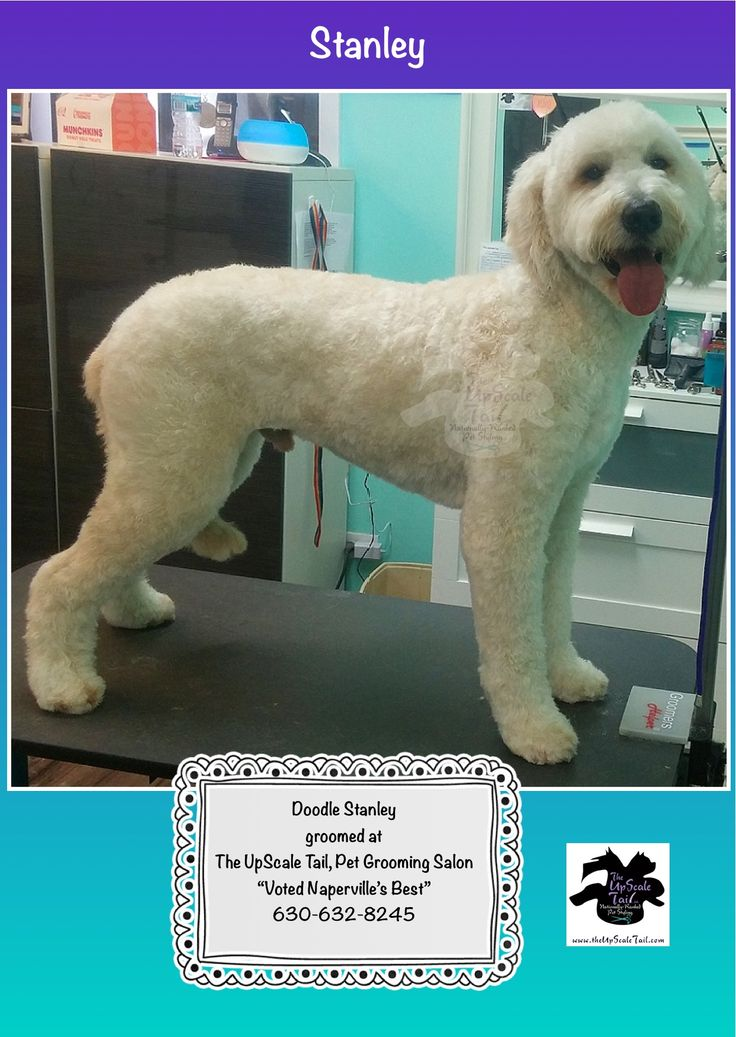 Stanley the Doodle, curls retained & groomed at The