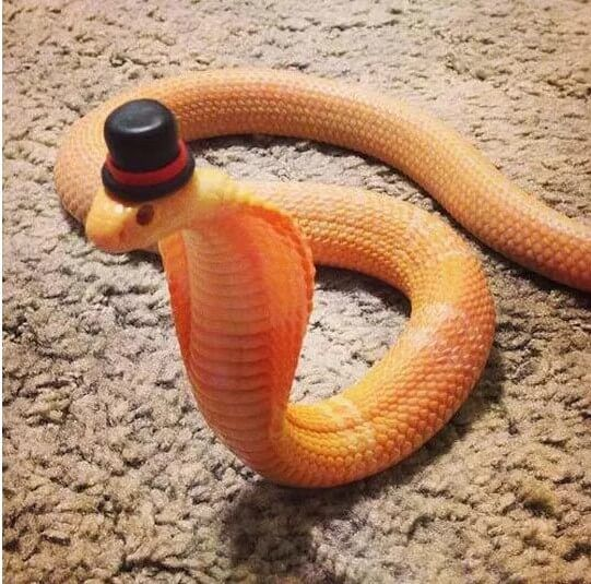 Cute Snakes With Hats Pictures Information About Best Small Pet Snakes Snakes With Hats Pet Snake Cute Snake