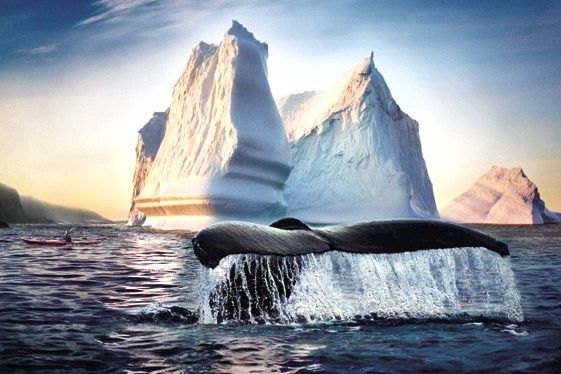 Whale swimming in Newfoundland, Canada - Beautiful! http://www.lonelyplanet.com/canada/newfoundland-and-labrador