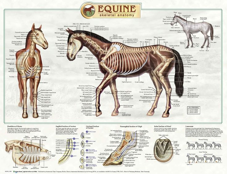 27 Best Mlp Study Of My Little Pony Anatomy Images On Pinterest