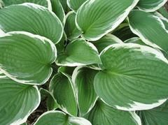 FRANCEE HOSTA Easily grown in average, medium moisture, well-drained soils in part shade to full shade. Tolerant of a wide range of soil conditions. Perfo...