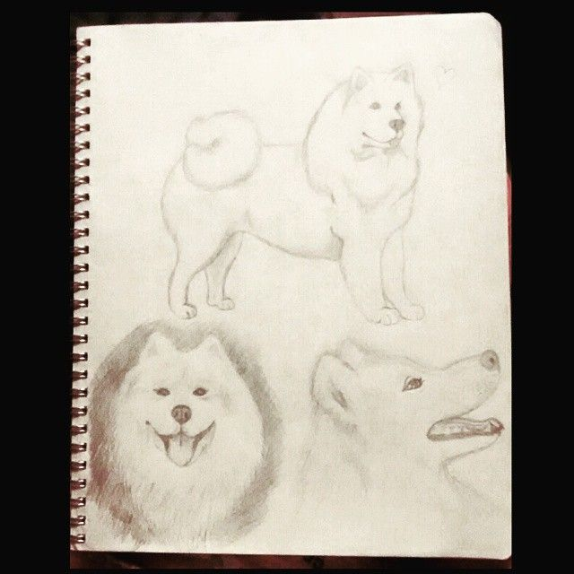 aww es que son tan cute yo quiero un samoyedo ahoraa!!! #samoyed #dog #perro #samoyedo #cute #boni #perfect #myfavourite #white #drawing #dibujo #instachile #instapuertomontt