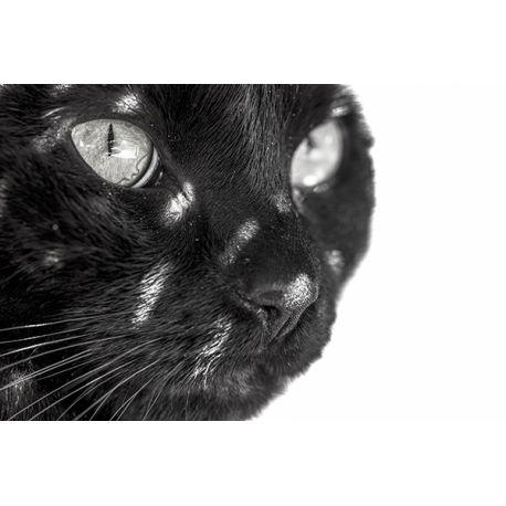 Obraz na płótnie - Czarny kot - dostępny w rozmiarach 150x100, 120x80, 90x60, 60x40 i 40x26 cm #fedkolor #obraz #na #płótnie #ze #zdjęcia #kot #kotek #koty #czarny #fotografie #wydruki #zdjęcianapłótnie #wydrukinapłótnie #zwierzęta #zwierzę #czarnobiałe #blackwhite