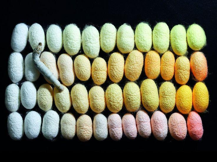 Silk, how it's made.  Bombyx mori, caterpillar