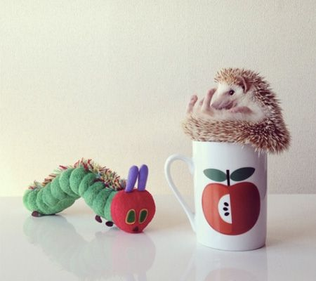 Best Hedgehog Images On Pinterest Baby Hedgehogs Baby - Darcy cutest hedgehog ever