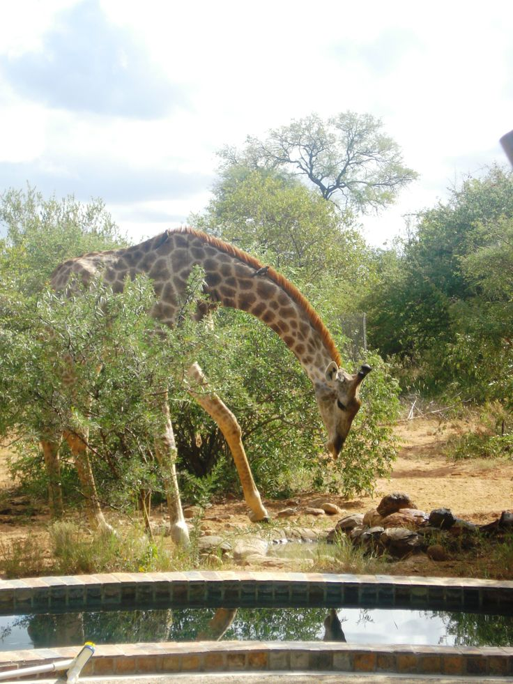 Giraffe drinking water from a water hole at a home in a Wildlife Estate near Hoedspruit