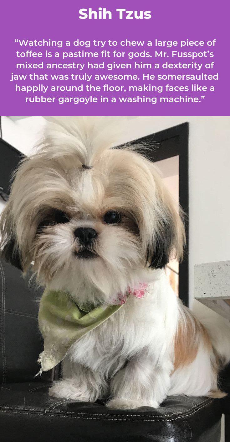Shih Tzu Puppies Shihtzu Shihtzusofinstagram Shihtzulovers
