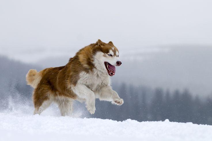 Photograph Siberian Husky. by Borislav Stefanov on 500px