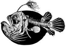 「黒い海の悪魔」超激レア!モントレーベイ水族館が深海600Mでアンコウの撮影に成功 http://japa.la/?p=46174 #AnglerFIsh #BlackSeaDevil #MBARI