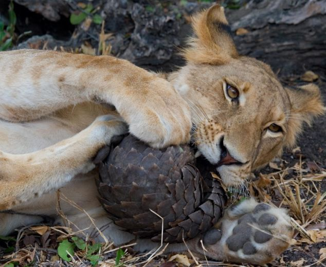 """A Lion Can Not Eat A Pangolin. A pangolin (also referred to as a scaly anteater or trenggiling) is a mammal of the order Pholidota. The one extant family, Manidae, has one genus, Manis, which comprises eight species. A pangolin has large keratin scales covering its skin, and is the only known mammal with this adaptation. It is found naturally in tropical regions throughout Africa and Asia. The name, pangolin, comes from the Malay word, pengguling, meaning """"something that rolls up""""."""
