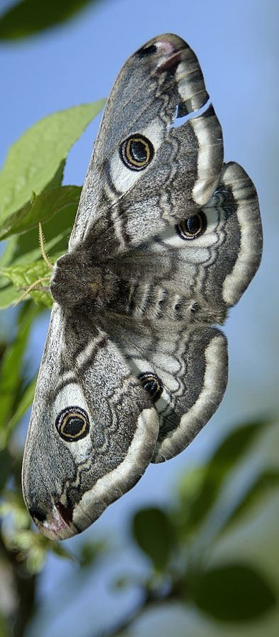 ◑≈◑≈◑≈◑ Butterfly ◑≈◑≈◑≈◑ See www.masters-table.org for more of God's living art