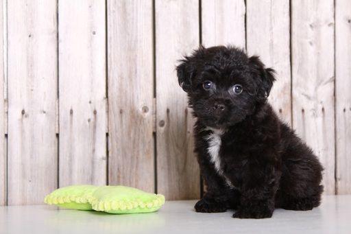Zuchon puppy for sale in MOUNT VERNON, OH. ADN-32468 on PuppyFinder.com Gender: Male. Age: 8 Weeks Old