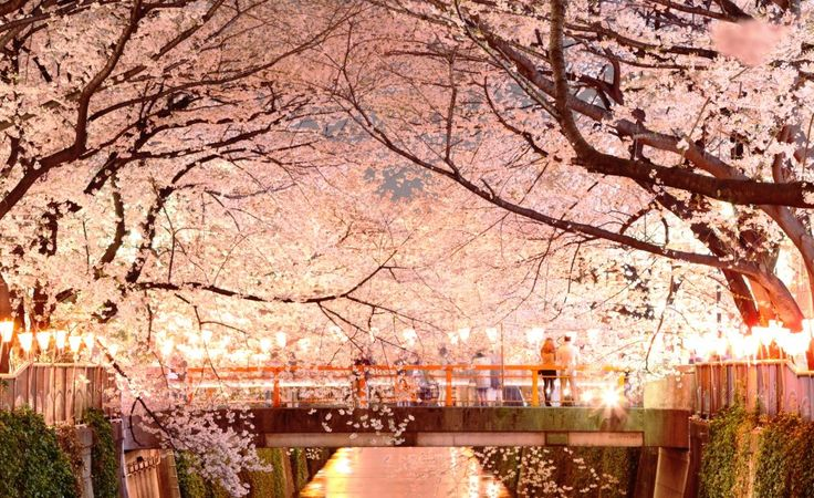 in the land of cherry blossoms Budget guide and itinerary: cherry blossom season in central japan  my  experiences of this country just keep getting better and better  (read: planning  your cherry blossom japan adventure: 5 beautiful viewing spots.