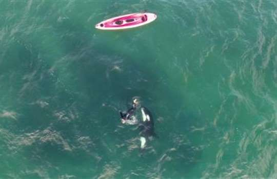 Drone Captures Kayaker's Encounter With an Orca - The Wall Street Journal.
