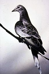 The last passenger pigeon, Martha.  Died in captivity in 1914.  Once the most abundant bird in the world, passenger pigeons were knowingly hunted to extinction by American settlers.