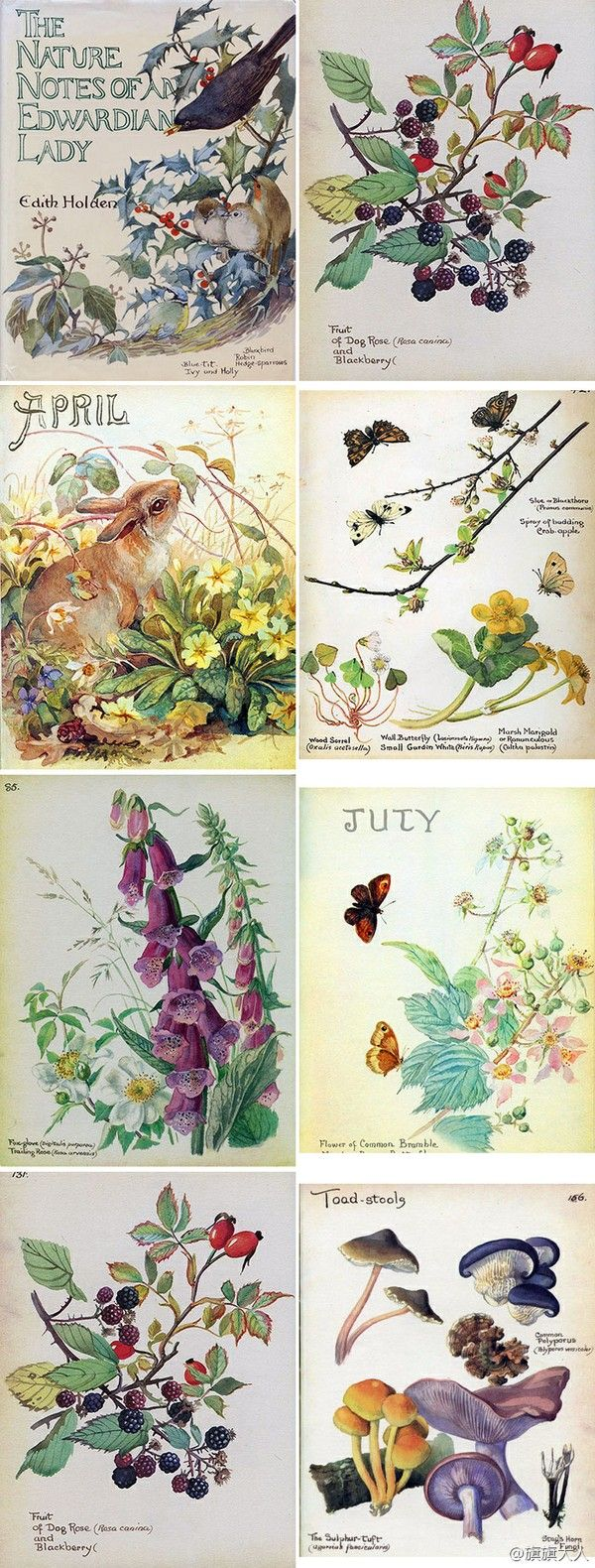 Watercolors from the book, The Nature Notes of an Edwardian Lady.""