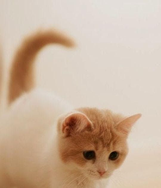 Terkeren 24 Gambar Kucing Anggora Lucu Untuk Wallpaper Kucing Lucu Hd Wallpaper 2019 For Android Apk Download From Apk Cute Kittens Wallpaper Kucing Kucing