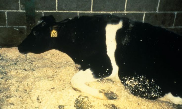 Mad Cow Disease causes cows to lose muscle control before they ultimately die
