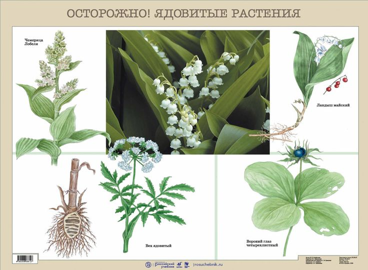 Осторожно! Ядовитые растения.