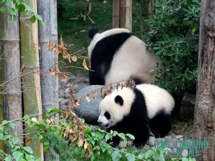 kleiner panda als haustier