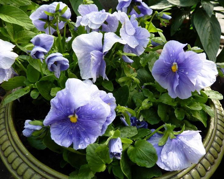 Pansy 'Delta Pure Light Blue' (Viola wittrockiana)