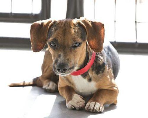 Colorado Springs Co Dachshund Meet Diesel A Pet For Adoption