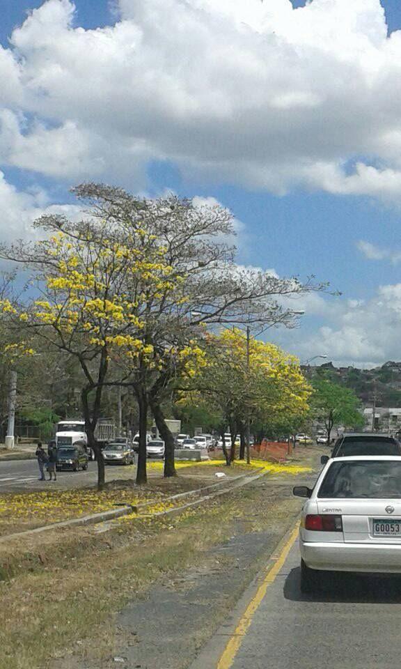 Naturaleza en medio del tráfico panameño mío...