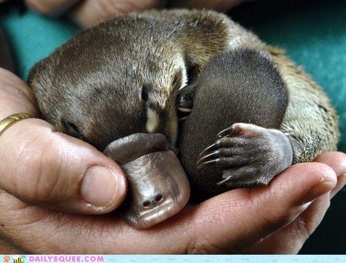 tiny baby platypus sleepin in somebody's hand