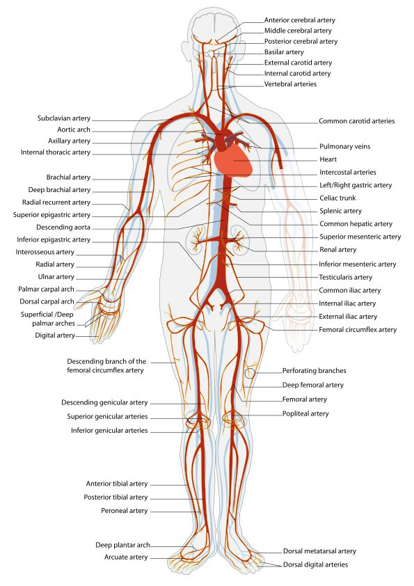 21 best Anatomija CNS i sindromi images on Pinterest | Blood, Human ...