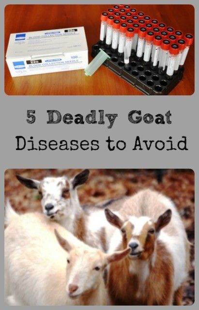 #goatvet recommends annual herd tests for chronic diseases such as CAE and Johne's disease and in USA these are the diseases commonly tested for.  Australia has eradicated  bovine TB & Brucellosis and one state is free from Johne's disease.  There are good accreditation schemes for JD & CAE & a good vaccine for CLA.