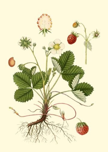 Wald-Erdbeere - botanical prints