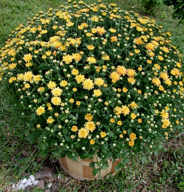 Fall Flower Mums: Mum Basket, About $17.00 From Lowes. Click Image To