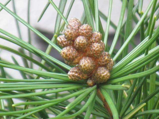 12月16日の誕生日の木は、世界三大庭園木のひとつ「コウヤマキ(高野槇)」です。 コウヤマキ科コウヤマキ属、一科一属一種の常緑高木です。原産地は日本。天然分布の北限は福島県ですが、関東地方には分布地がまったく無く、岐阜県、三重県、和歌山県、高知県、宮崎県に分布します。 名前の由来は、和歌山県の高野山の樹が特に有名であったため。ホンマキ(本槇)、マキ(槇)などの別名を持ちます。 コウヤマキは、その樹形の美しさからヒマラヤスギ、アローカリア・アローカナとともに世界の三大庭園樹と賞賛され、広く庭園等に植栽されています。 樹高は20m~30m。直径60cm~80cm。ときには樹高40m、直径100cmに及ぶものもあります。樹形は狭円錐形。自然に樹形が整い、老木になっても樹形が乱れないそうです。葉は棒状で厚く、濃緑色で光沢があります。開花期は4月から5月。雌雄同株で、黄褐色の花をつけます。雌花は10月頃結実し松笠のような果実を付けますが、発芽可能種子になるのは翌年の10月ころとなります。