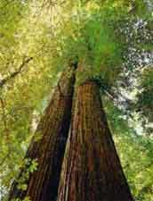 Secuoya, Secuoya roja, Sequoia, Secoya de California, Secoya.