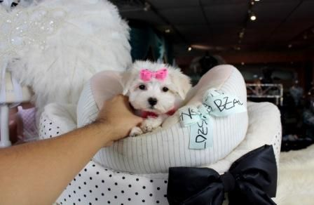 Maltese teacup puppies for sale! We ship, very safe! Easy