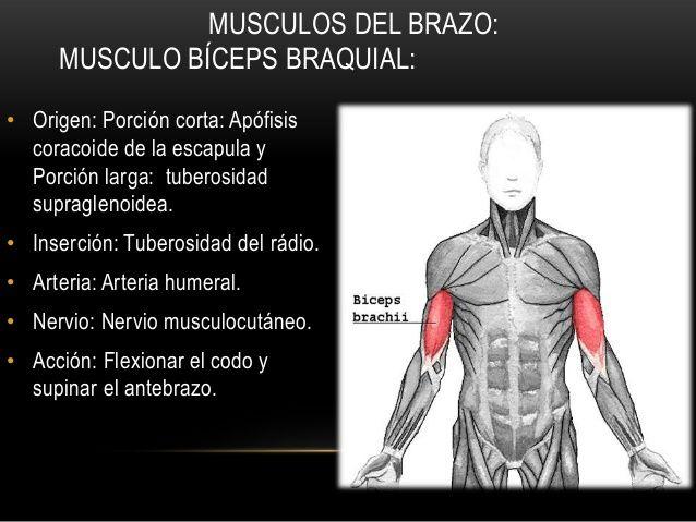 MUSCULOS DEL BRAZO:MUSCULO BÍCEPS BRAQUIAL:• Origen ...