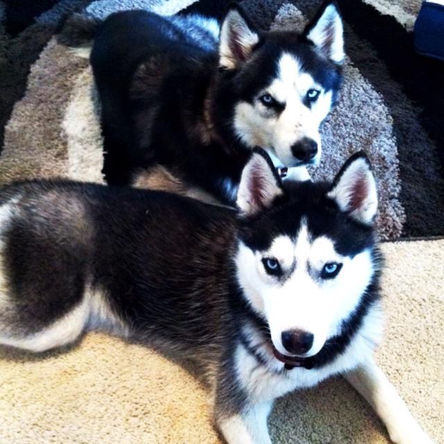 My two Siberian huskies :) Batman and Nishka: Siberian Husky, Siberian Huskies