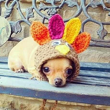 Happy Thanksgiving! | ~ Ay! Chihuahua ~ | Toy chihuahua ...